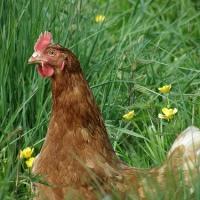 A la recherche de poules