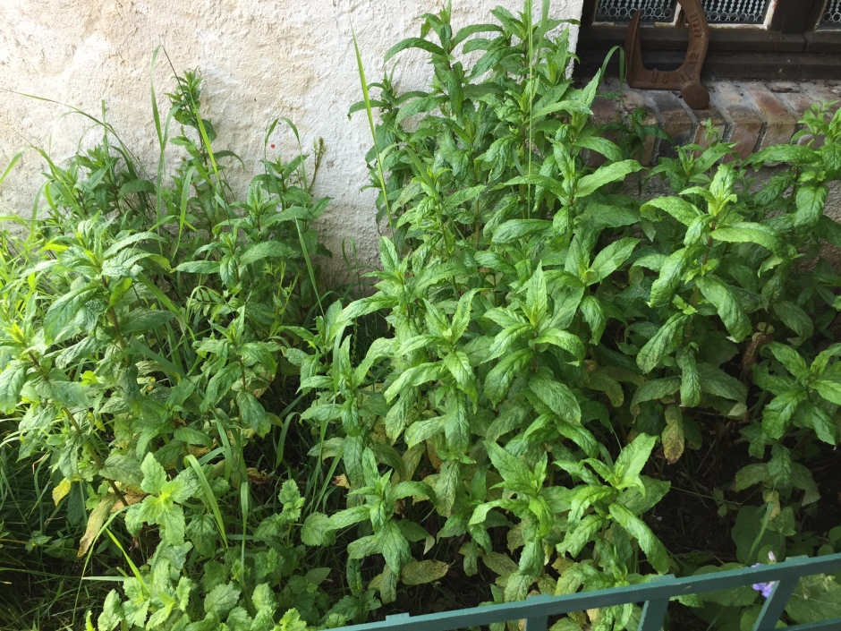 plantation-de-menthe